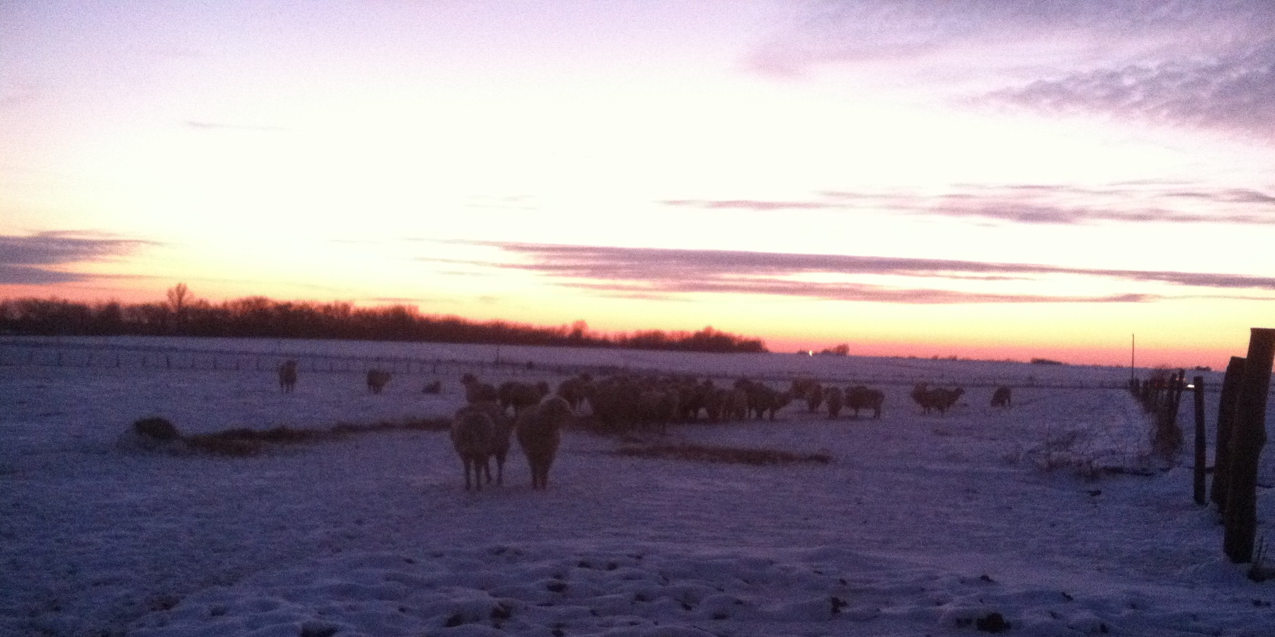 sheep sunset snow