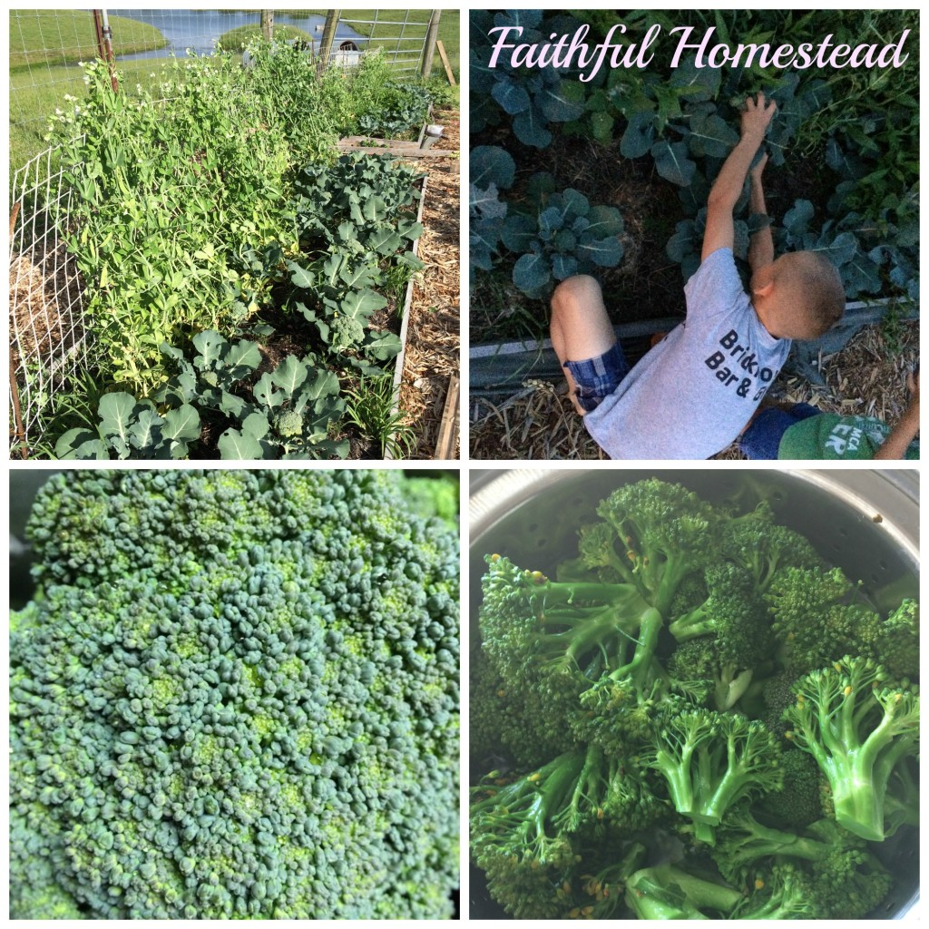 Faithful Homestead Broccoli